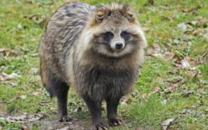 Why Train Coon Dogs To Hunt Raccoons