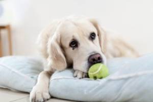 How Long Can A Dog Go Without Eating With Pancreatitis