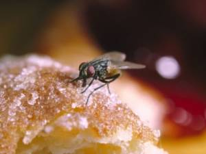 Home Remedies to keep Gnats away from Dogs