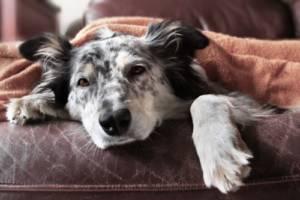 Is Furosemide dangerous for dogs