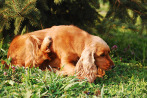 How to get rid of chiggers on dogs