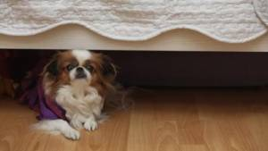 Why does my dog hide under the bed