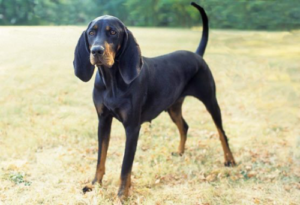 Black And Tan Coon Hound
